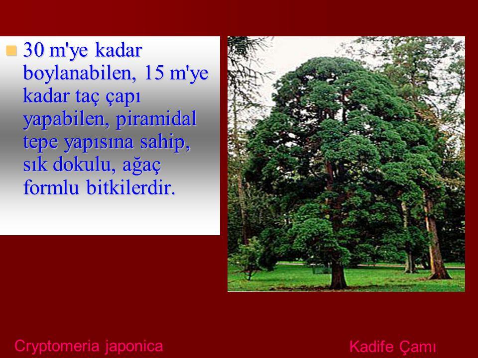30 m ye kadar boylanabilen, 15 m ye kadar taç çapı yapabilen, piramidal tepe yapısına sahip, sık dokulu, ağaç formlu bitkilerdir.