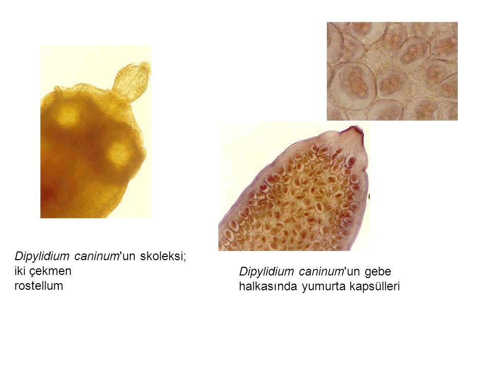 Dipylidium caninum un skoleksi; iki çekmen