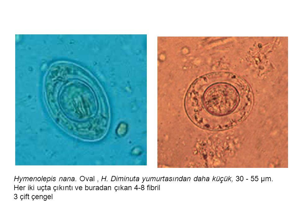 Hymenolepis nana. Oval , H