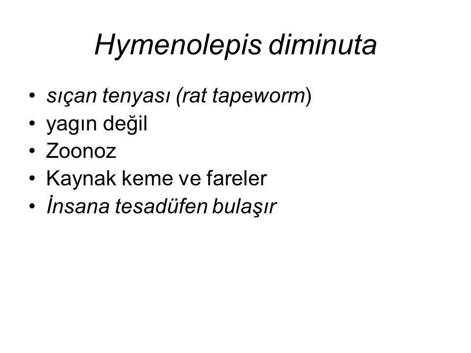 Hymenolepis diminuta sıçan tenyası (rat tapeworm) yagın değil Zoonoz