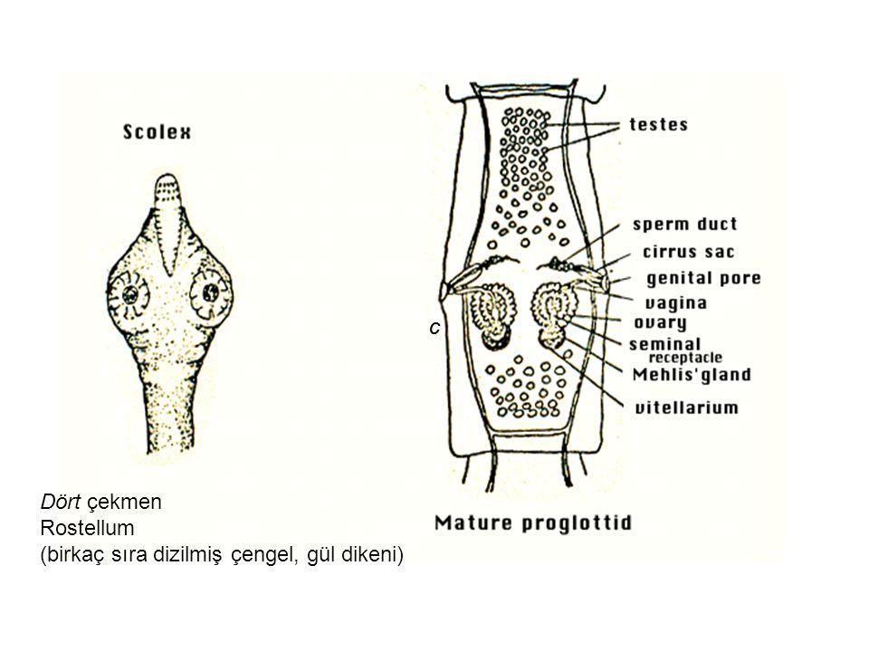 c c Dört çekmen Rostellum (birkaç sıra dizilmiş çengel, gül dikeni)