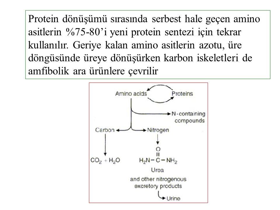 Protein dönüşümü sırasında serbest hale geçen amino asitlerin %75-80'i yeni protein sentezi için tekrar kullanılır.
