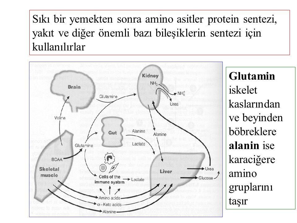 Sıkı bir yemekten sonra amino asitler protein sentezi, yakıt ve diğer önemli bazı bileşiklerin sentezi için kullanılırlar
