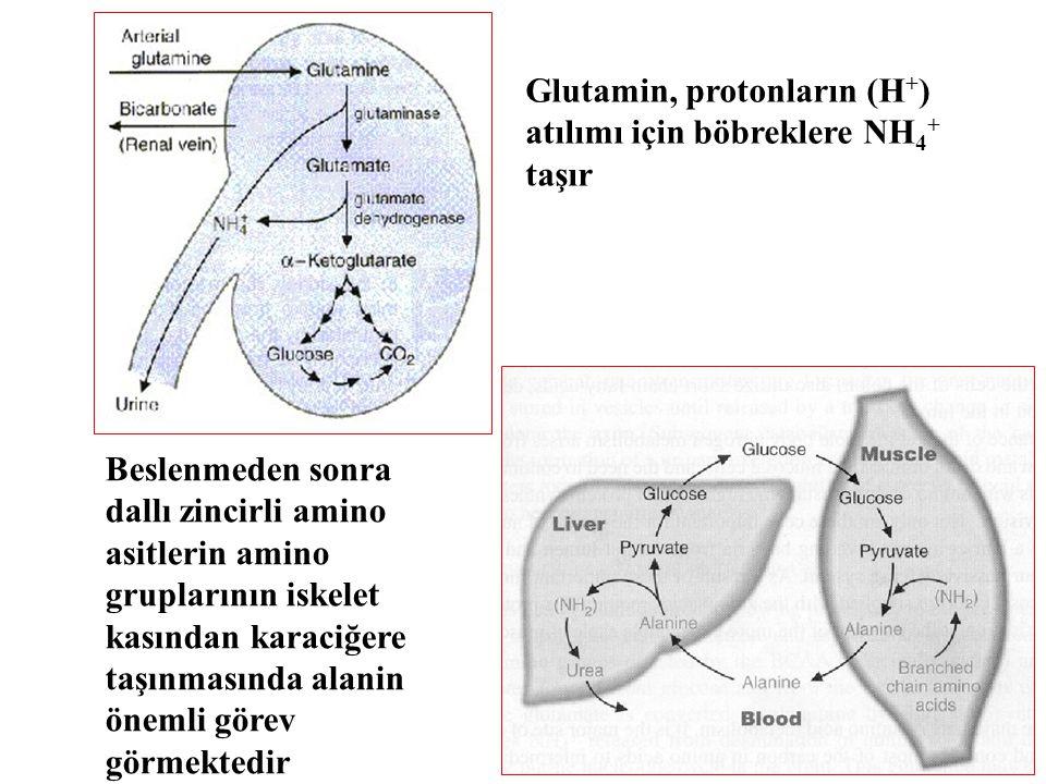 Glutamin, protonların (H+) atılımı için böbreklere NH4+ taşır