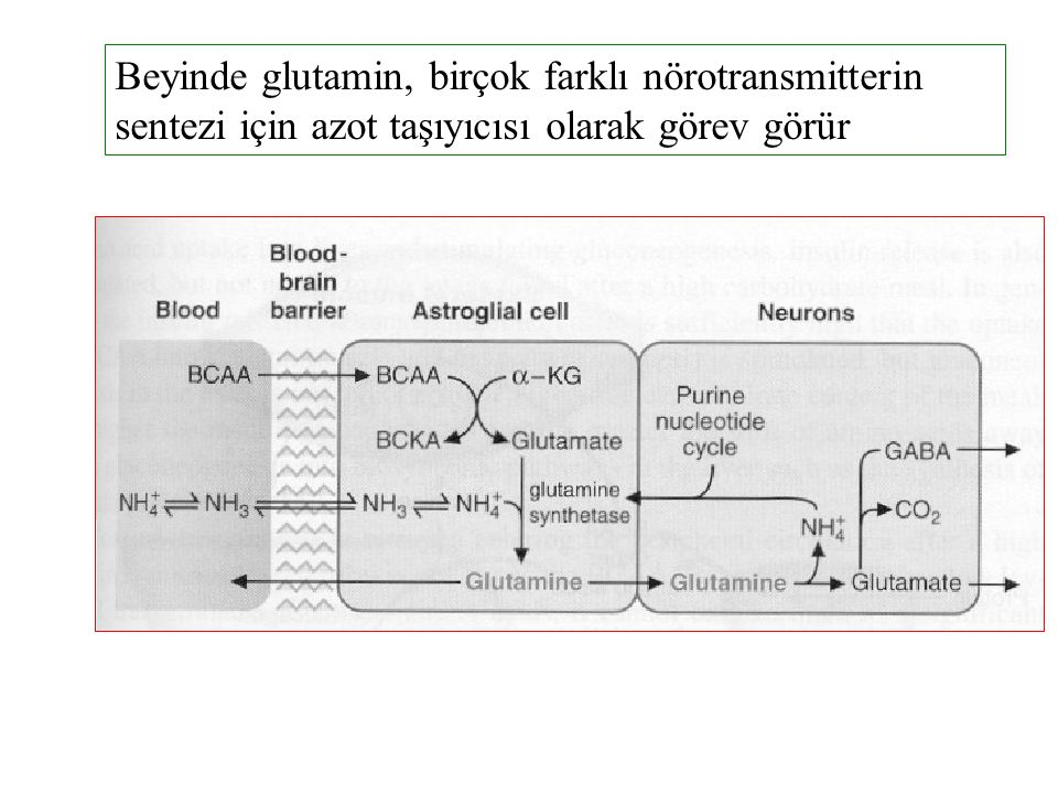 Beyinde glutamin, birçok farklı nörotransmitterin sentezi için azot taşıyıcısı olarak görev görür
