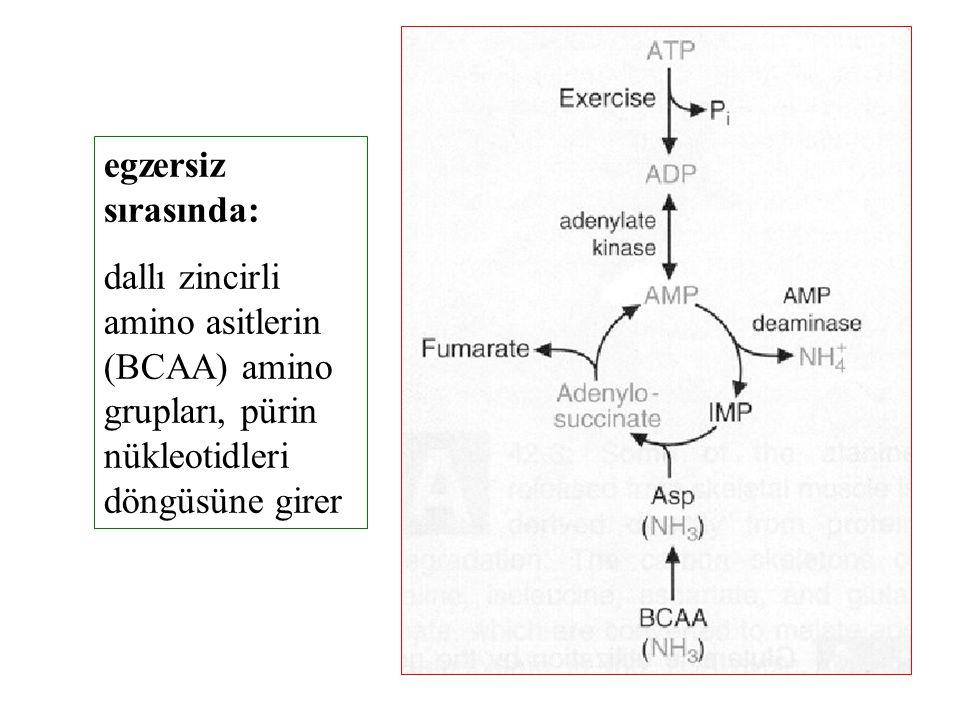 egzersiz sırasında: dallı zincirli amino asitlerin (BCAA) amino grupları, pürin nükleotidleri döngüsüne girer.