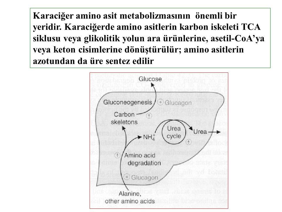 Karaciğer amino asit metabolizmasının önemli bir yeridir