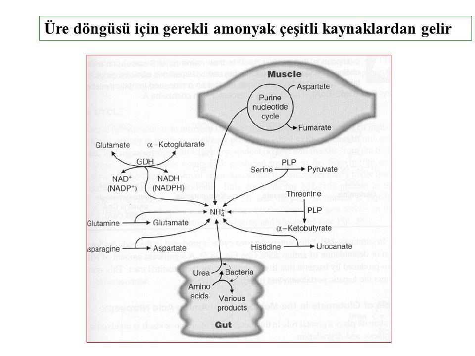 Üre döngüsü için gerekli amonyak çeşitli kaynaklardan gelir