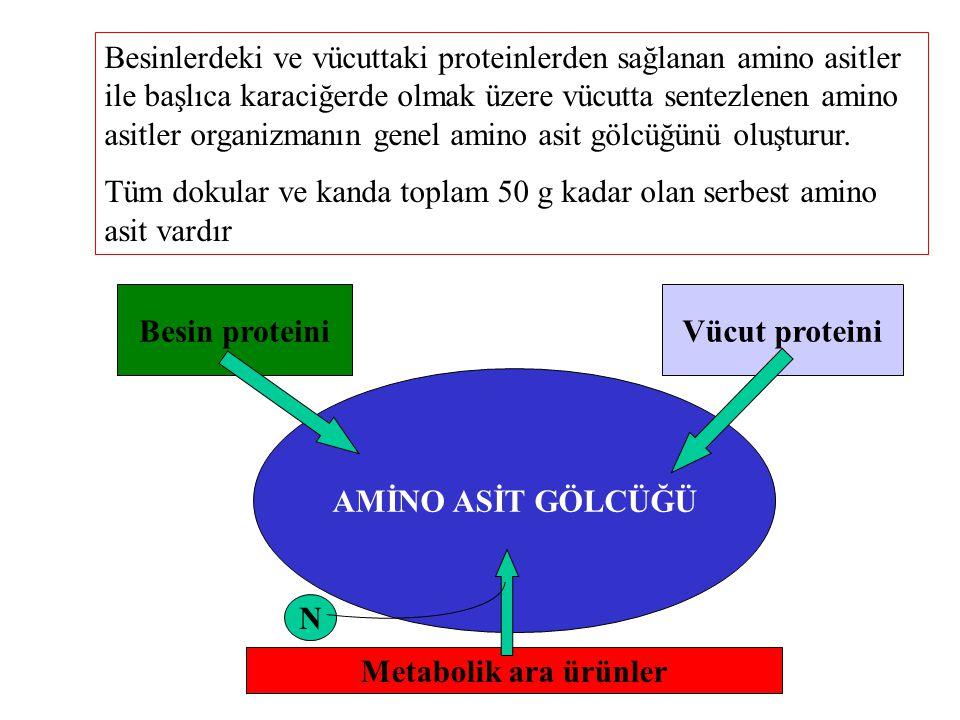 Besinlerdeki ve vücuttaki proteinlerden sağlanan amino asitler ile başlıca karaciğerde olmak üzere vücutta sentezlenen amino asitler organizmanın genel amino asit gölcüğünü oluşturur.