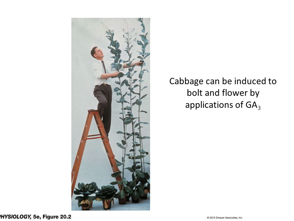 Cabbage can be induced to bolt and flower by applications of GA3
