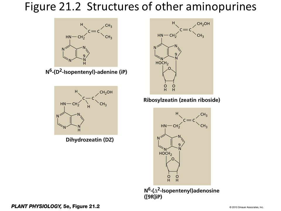 Figure 21.2 Structures of other aminopurines that are active as cytokinins
