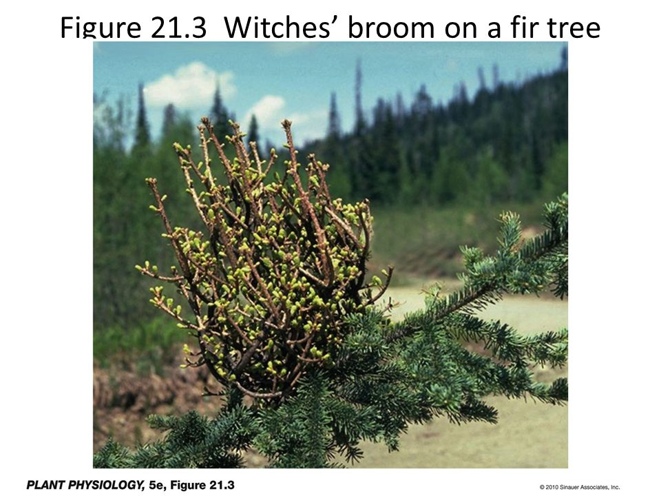 Figure 21.3 Witches' broom on a fir tree