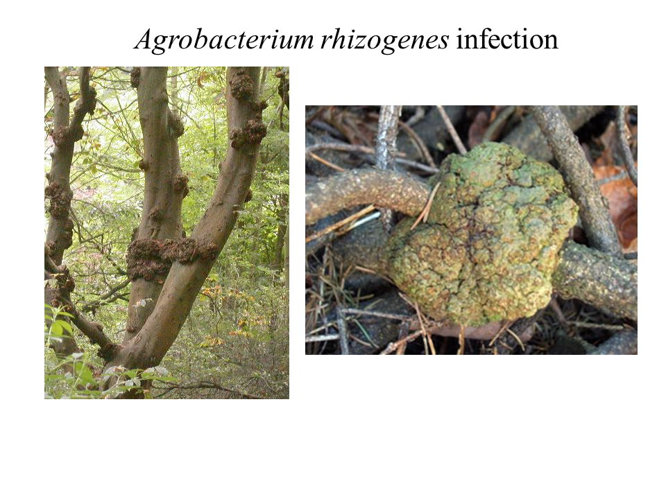 Agrobacterium rhizogenes infection