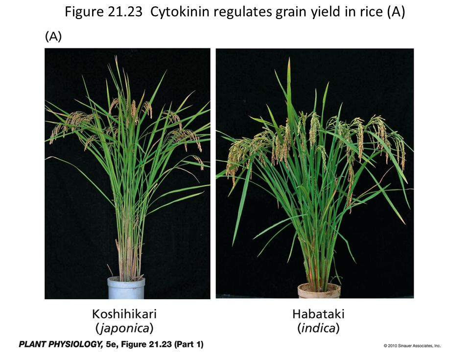 Figure 21.23 Cytokinin regulates grain yield in rice (A)