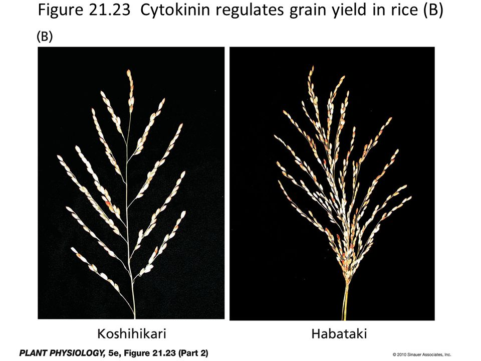 Figure 21.23 Cytokinin regulates grain yield in rice (B)