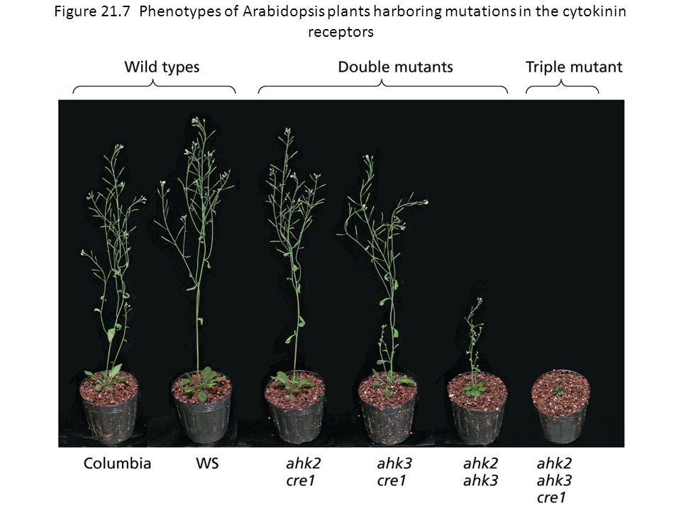 Figure 21.7 Phenotypes of Arabidopsis plants harboring mutations in the cytokinin receptors