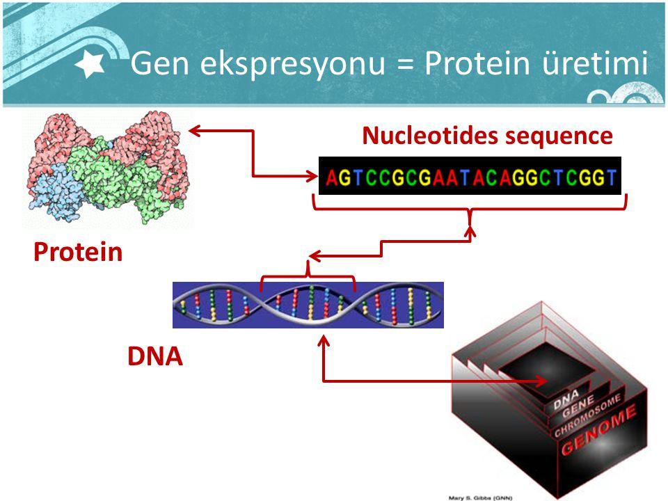 Gen ekspresyonu = Protein üretimi