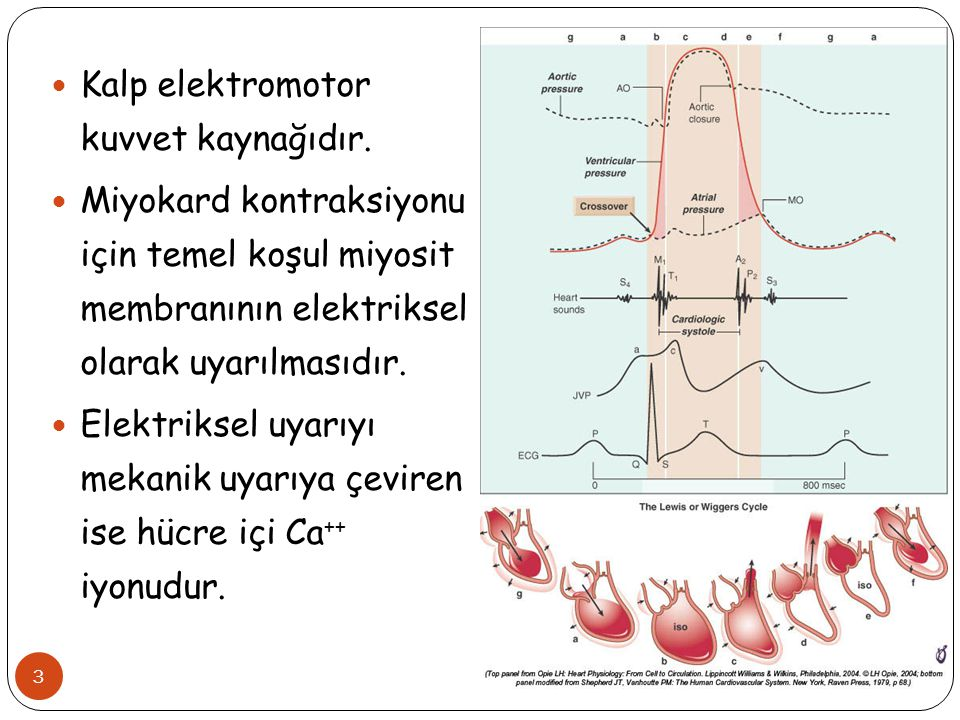 Kalp elektromotor kuvvet kaynağıdır.