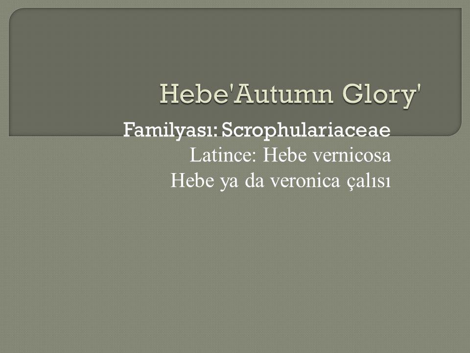 Hebe Autumn Glory Familyası: Scrophulariaceae Latince: Hebe vernicosa