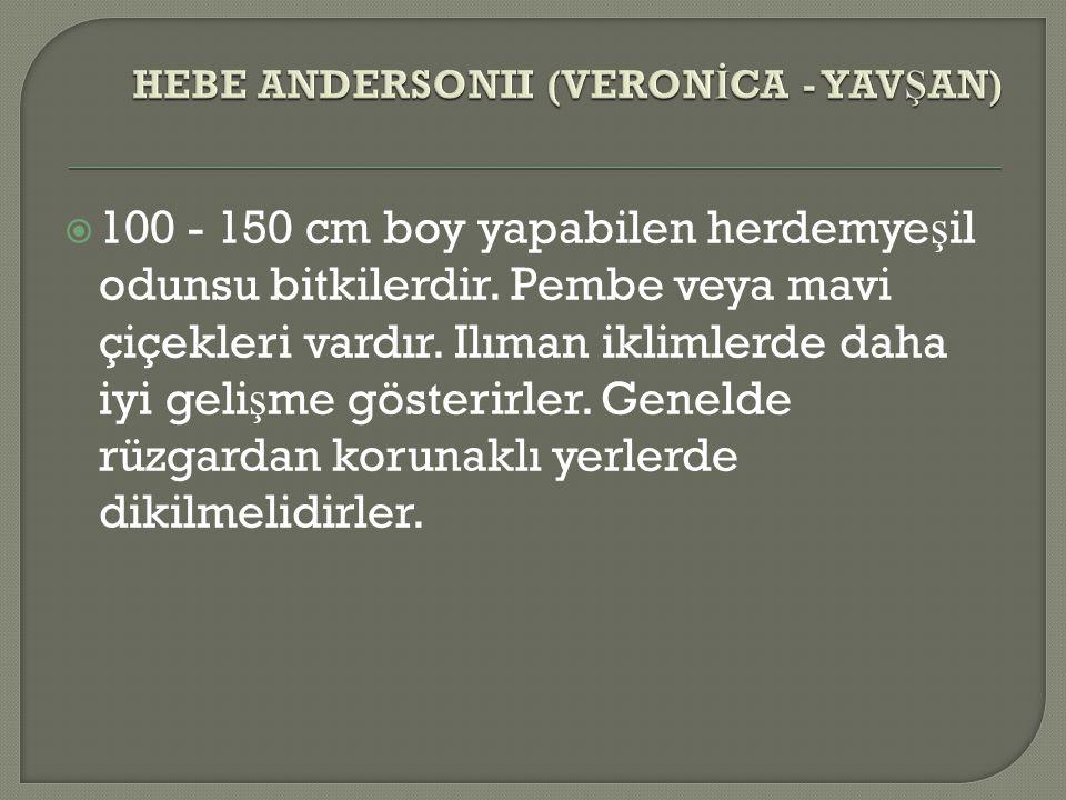 HEBE ANDERSONII (VERONİCA - YAVŞAN)