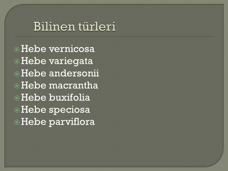 Bilinen türleri Hebe vernicosa Hebe variegata Hebe andersonii