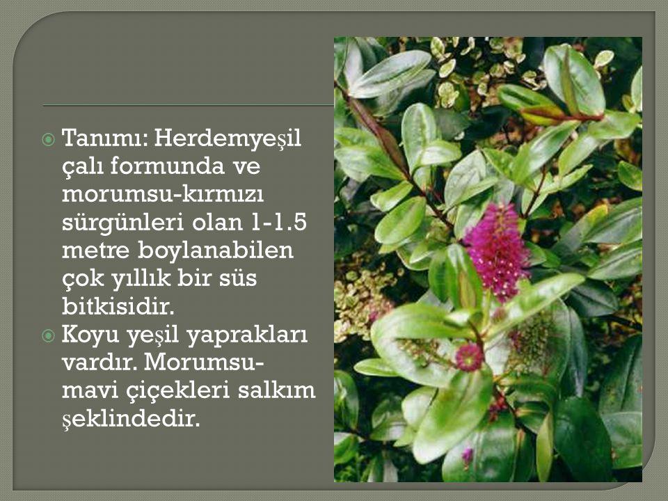 Tanımı: Herdemyeşil çalı formunda ve morumsu-kırmızı sürgünleri olan 1-1.5 metre boylanabilen çok yıllık bir süs bitkisidir.