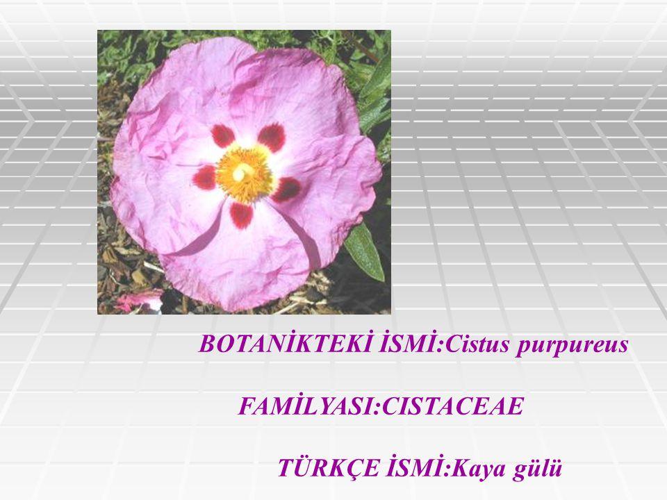 BOTANİKTEKİ İSMİ:Cistus purpureus