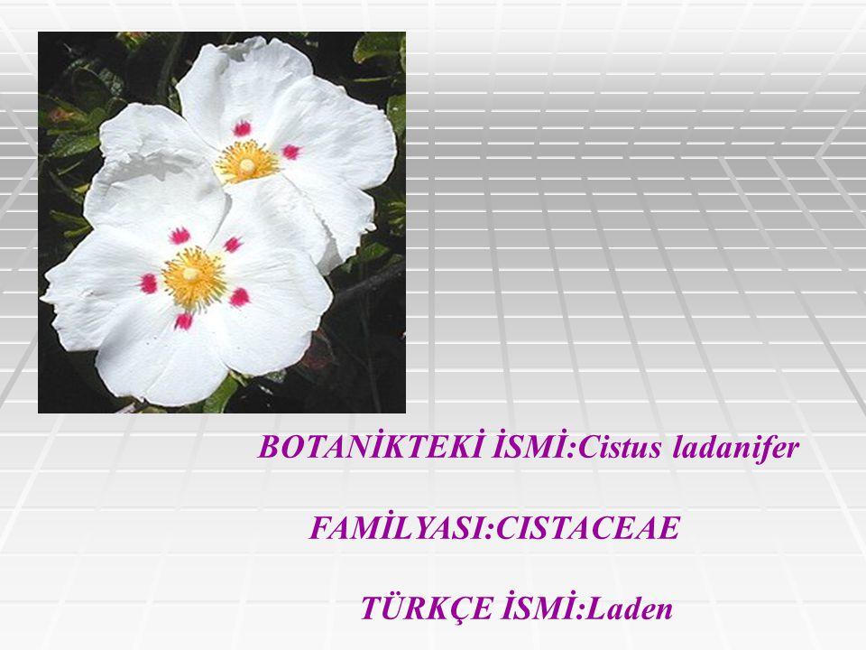 BOTANİKTEKİ İSMİ:Cistus ladanifer
