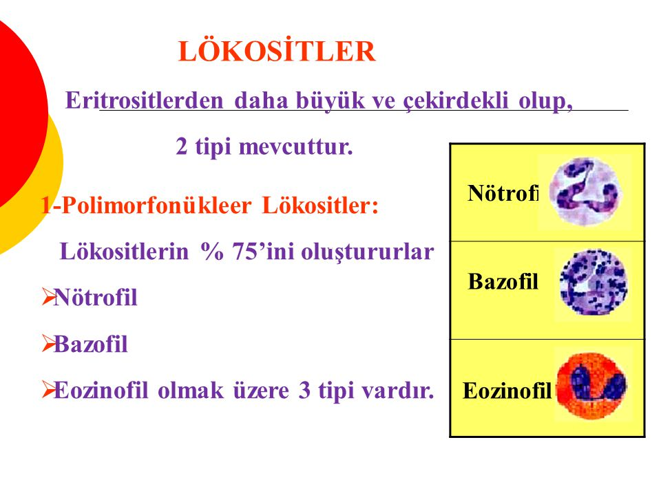 1-Polimorfonükleer Lökositler: Lökositlerin % 75'ini oluştururlar