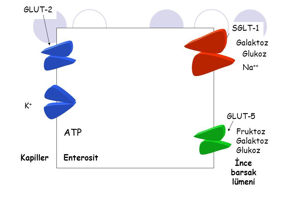 ATP GLUT-2 SGLT-1 Galaktoz Glukoz Na++ Na++ ADP K+ GLUT-5 Fruktoz