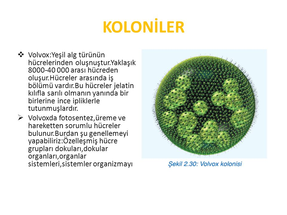 KOLONİLER