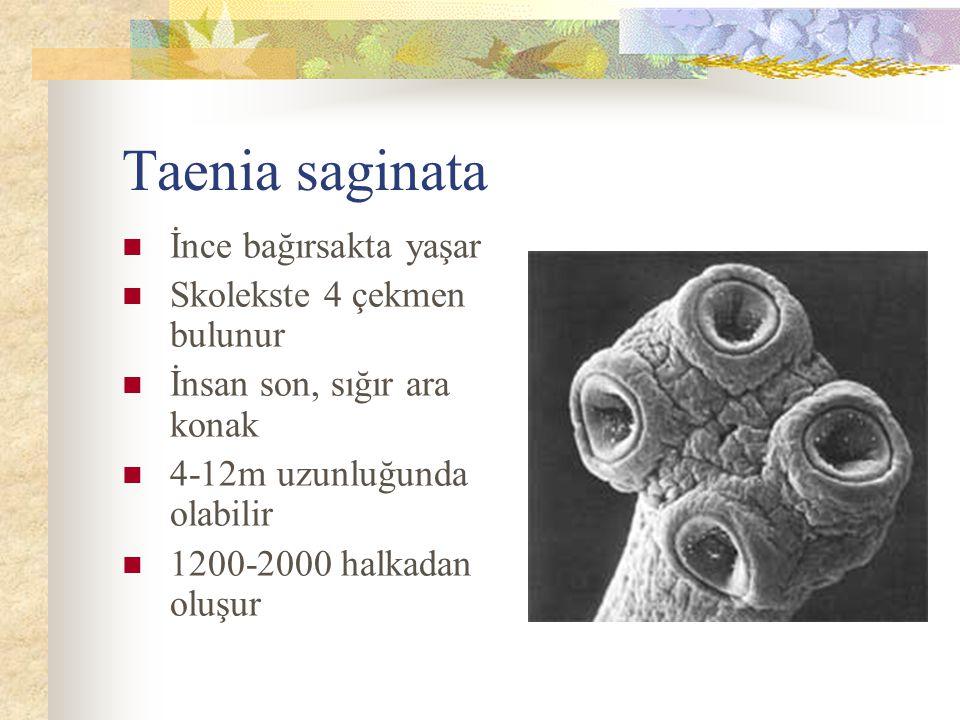 Taenia saginata İnce bağırsakta yaşar Skolekste 4 çekmen bulunur