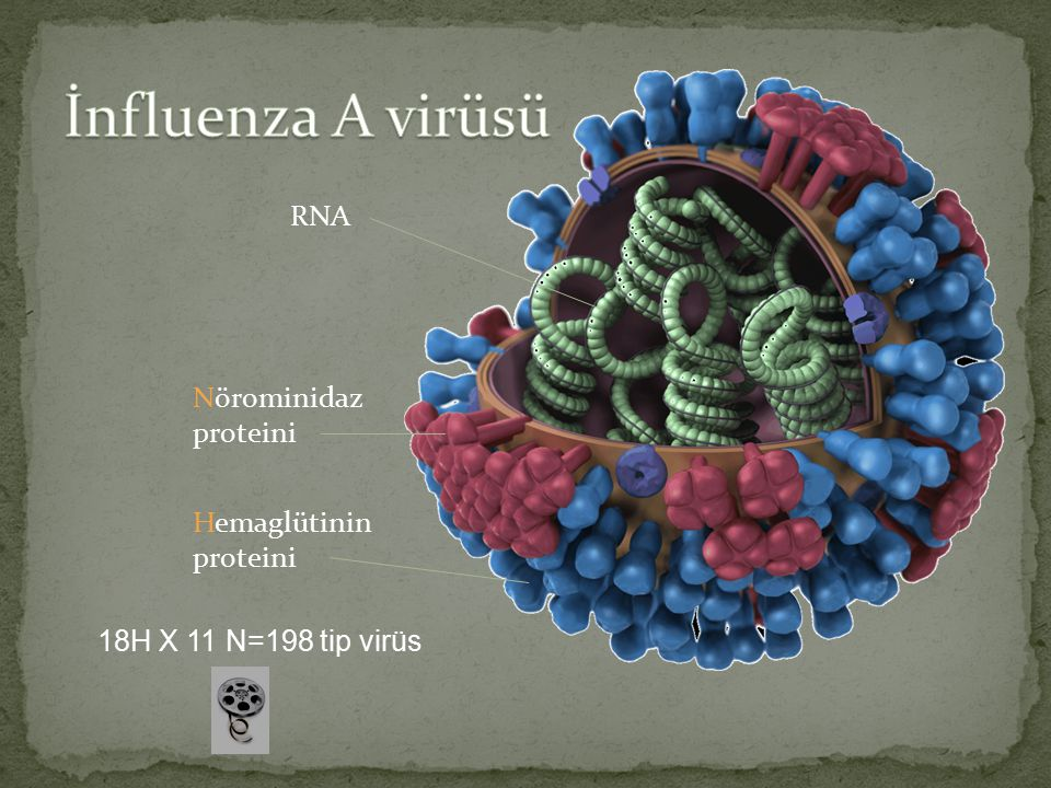 İnfluenza A virüsü RNA Nörominidaz proteini Hemaglütinin proteini