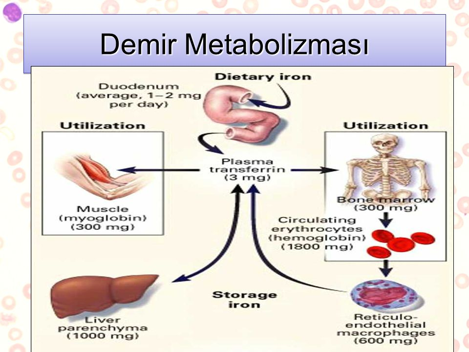 Demir Metabolizması Dietary Iron absorbed by duodenum