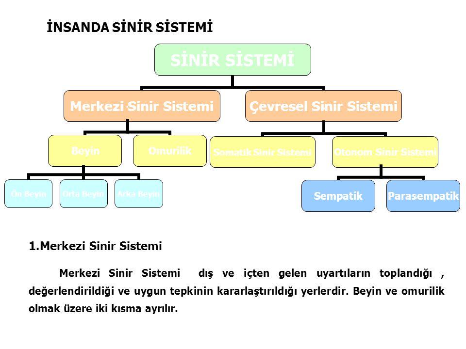 İNSANDA SİNİR SİSTEMİ 1.Merkezi Sinir Sistemi.
