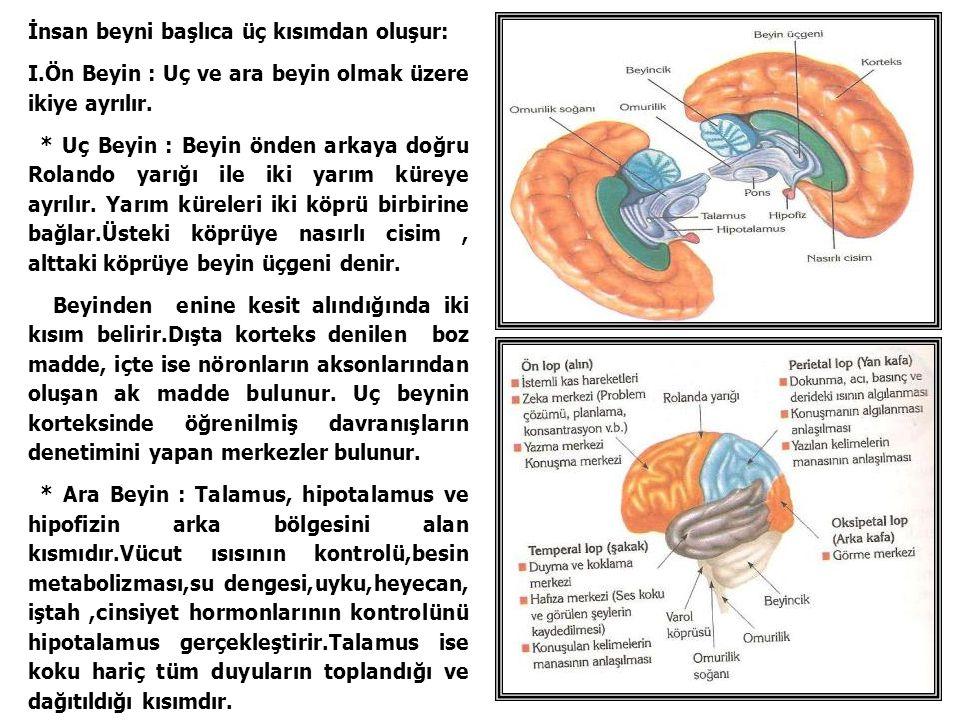 İnsan beyni başlıca üç kısımdan oluşur: