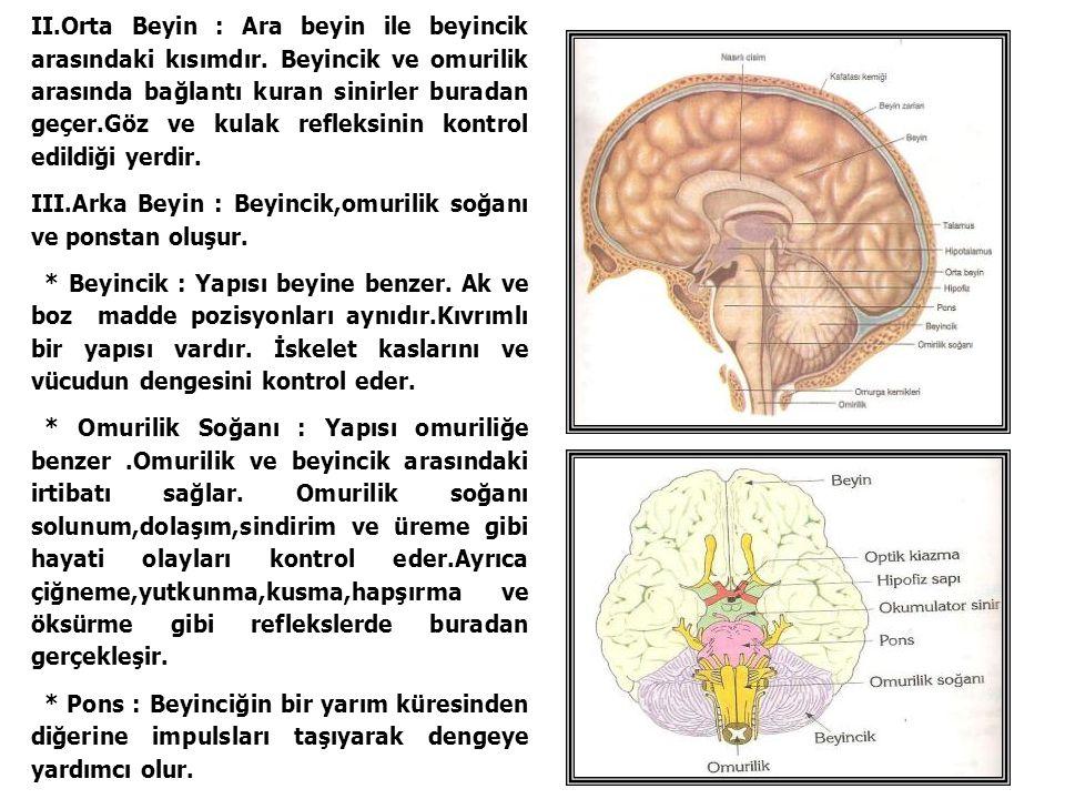 II. Orta Beyin : Ara beyin ile beyincik arasındaki kısımdır
