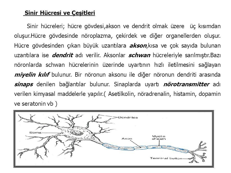Sinir Hücresi ve Çeşitleri