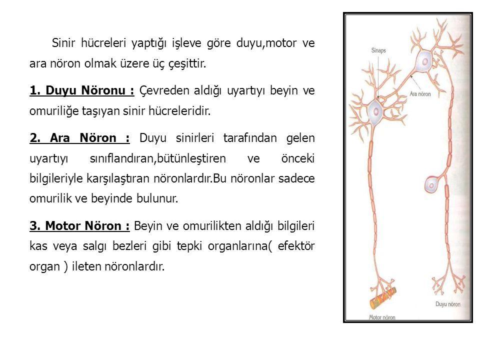 Sinir hücreleri yaptığı işleve göre duyu,motor ve ara nöron olmak üzere üç çeşittir.