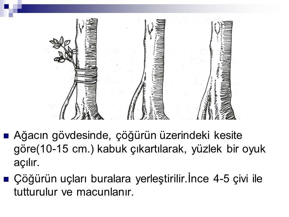 Ağacın gövdesinde, çöğürün üzerindeki kesite göre(10-15 cm