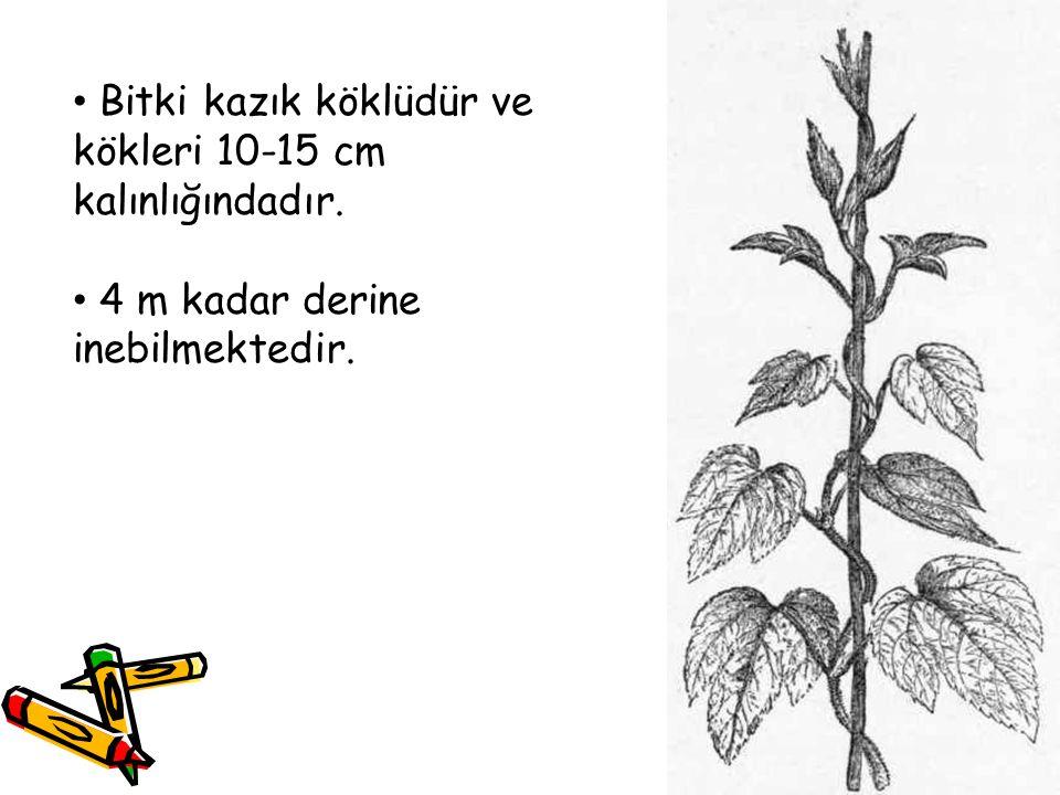 Bitki kazık köklüdür ve kökleri 10-15 cm kalınlığındadır.