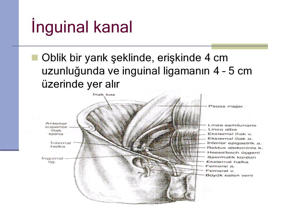 İnguinal kanal Oblik bir yarık şeklinde, erişkinde 4 cm uzunluğunda ve inguinal ligamanın 4 – 5 cm üzerinde yer alır.