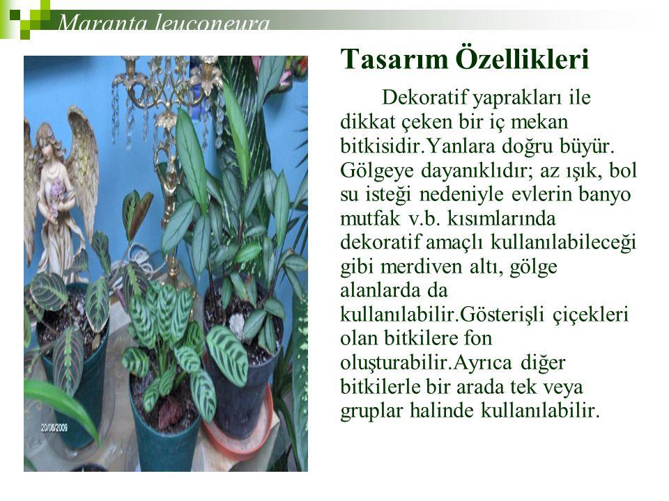 Tasarım Özellikleri Maranta leuconeura