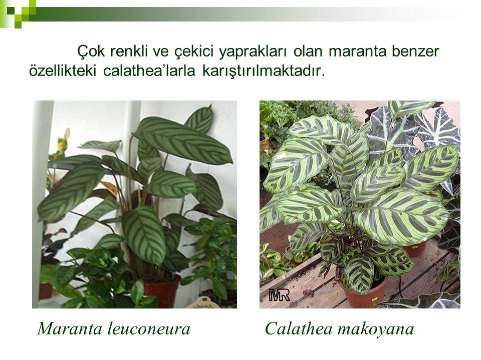Maranta leuconeura Calathea makoyana