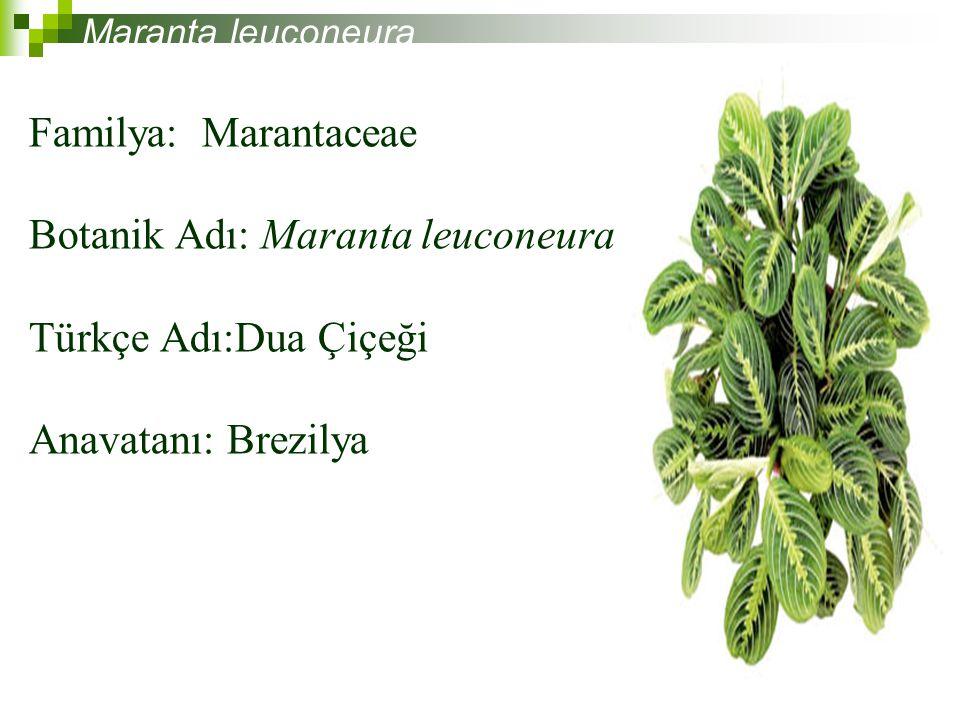 Botanik Adı: Maranta leuconeura Türkçe Adı:Dua Çiçeği