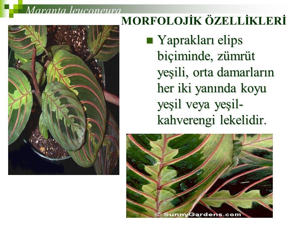 Maranta leuconeura MORFOLOJİK ÖZELLİKLERİ.