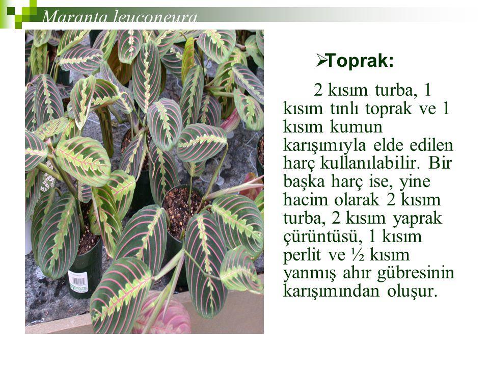 Maranta leuconeura Toprak: