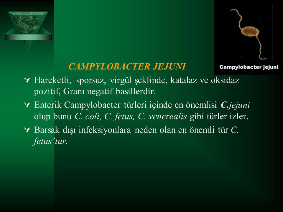 CAMPYLOBACTER JEJUNI Hareketli, sporsuz, virgül şeklinde, katalaz ve oksidaz pozitif, Gram negatif basillerdir.