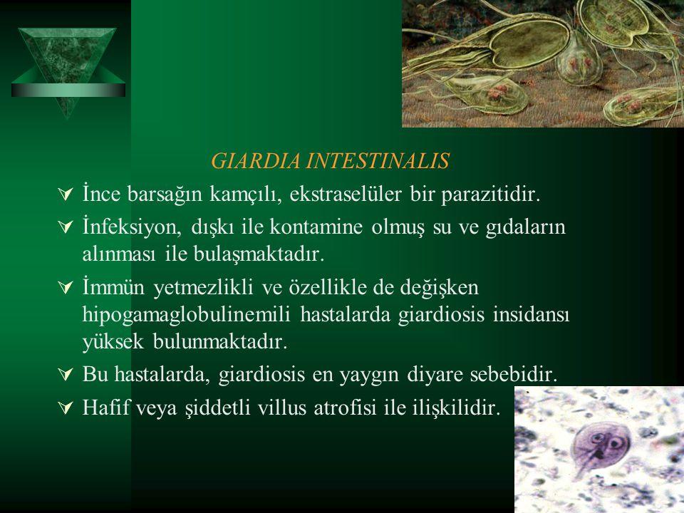 GIARDIA INTESTINALIS İnce barsağın kamçılı, ekstraselüler bir parazitidir.