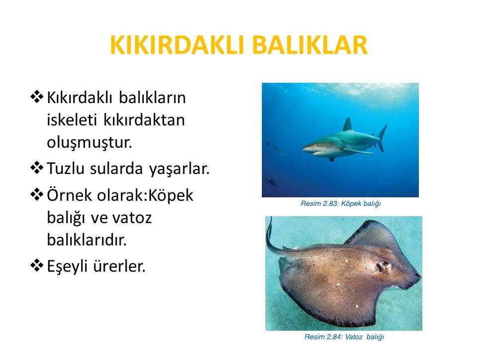 KIKIRDAKLI BALIKLAR Kıkırdaklı balıkların iskeleti kıkırdaktan oluşmuştur. Tuzlu sularda yaşarlar.